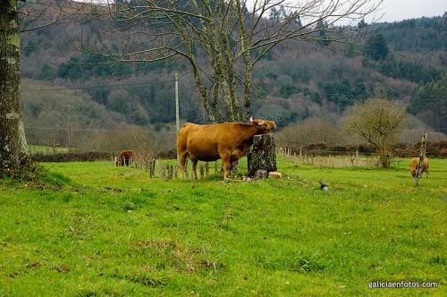 Vaca rascándose