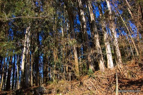 Eucaliptos - Informacion sobre el eucalipto ...