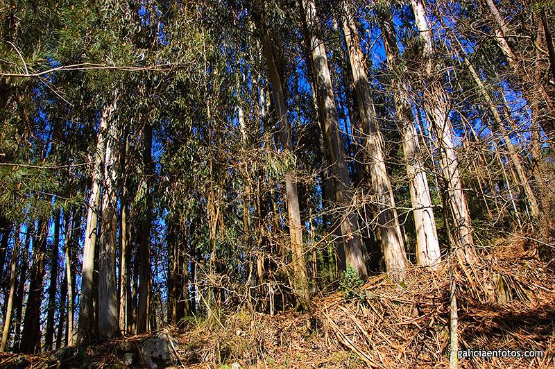 Entrada el bosque mas odiado - Informacion sobre el eucalipto ...