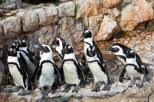 Pinguinos santanderinos