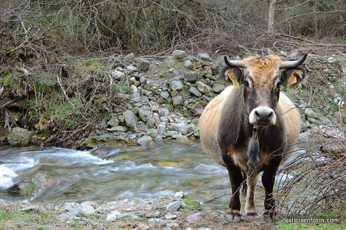 Vaca posando